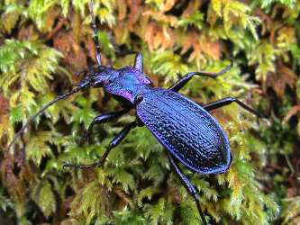 a photo of a blue ground beetle