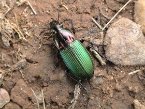 a photo of a kugelann's ground beetle