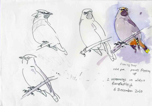 Waxwings, Buckfastleigh
